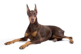 Top 5 Smartest Dog Breeds In The World Panther Press